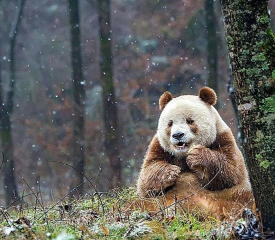 rjawa-panda